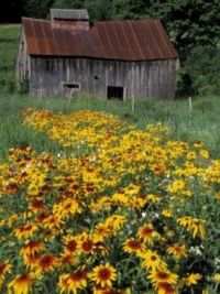 Black Eyed Susans and Barn by Darrell Gulin