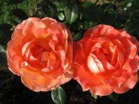 Dvojčici - Twins / Roses at The Volčji Potok Arboretum