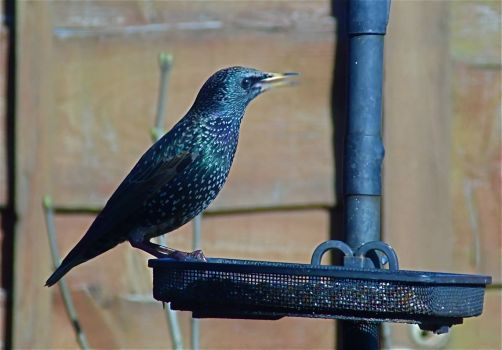 Starling in winter sunshine