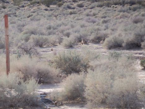 100E0331 Coyote just chillin (AZ)
