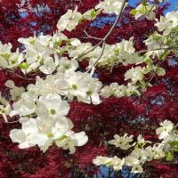 Dogwood and Red maple
