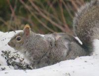 Maine gray squirrel