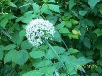 Kvete cibule