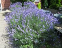 My 'humming and buzzing' Lavender...in full glory....