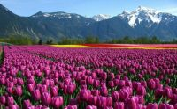 Tulip fields, 3