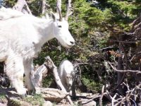 Mountain goats in Glacier Park