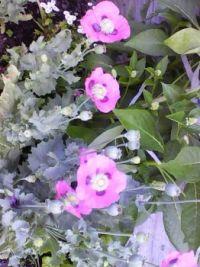Pink Poppies single