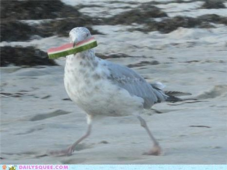 Seagull loves watermelon