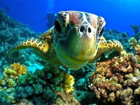 Curious Young Turtle on Great Barrier Reef