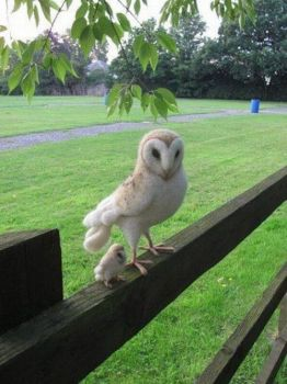 MOMMY & BABY OWL...