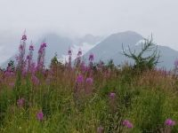 Fireweed in the fog