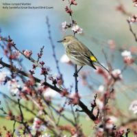 Yellow-rumped Warbler - or butterbutt as they're often called by birders