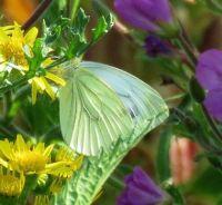 green-veined white on ragwort (geaderd witje op jacobskruid)