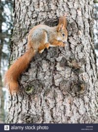 small-red-squirrel-with-bushy-long-tail-on-tree-trunk-holding-nut-HAY4YM