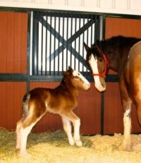 Theme : Horses - New Budweiser Clydesdale