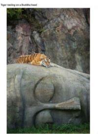 Tiger on Buddha Head