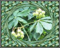 Kaštanové plody jsou ještě v obalu...  The chestnuts are still in the packaging ...