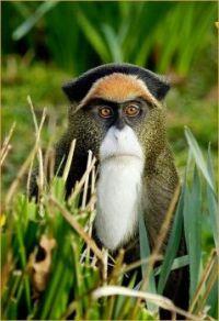 Debrazza's monkey, Cercopithecus neglectus