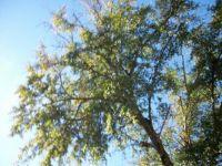 100_0565 oak