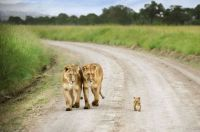 Momma Lions with Baby Lion