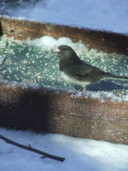 Slate Colored Junco likes snow