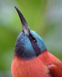 Northern Carmine Bee-eater photo by Mike Wilson
