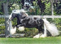 Silver dappled chocolate Gypsy Cobb stallion
