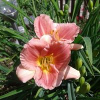 For you Janet ♥  Daylily from Max's garden