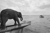 An Elephant on Skis.