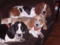 Bunch of Bassets