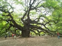 Angle Oak Tree Charleston SC