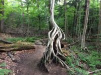Gnarly tree on the trail to Ampersand