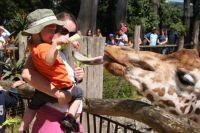 Feeding the Giraffe at Auckland zoo, New Zealand