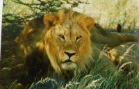 Theme: Safari / Big Game Animals Botswana 1997 # 4