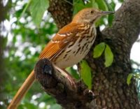 Backyard Brown Thrasher
