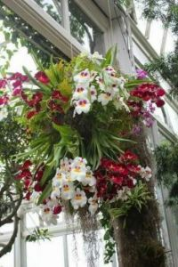 Fabulous Orchids in a Hanging Basket.
