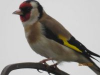 Goldfinch taking time out from feeding