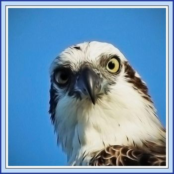This Eastern Osprey is watching you!