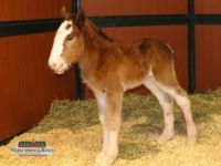 Warm Springs baby Clydesdale