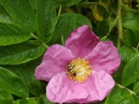 Rosa rugosa, the meat safe of the garden.