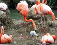 San Diego Zoo - Flamingos, Mud Nests, and Chick