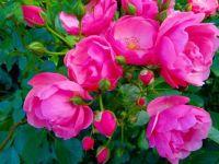 gardenroses by uliano pinto