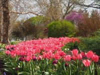 More Pink Tulips