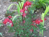 red (not pink !) bleeding heart