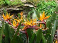 Strelitzia (Bird of Paradise)
