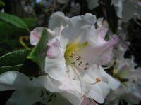 Rhododendron ' Elsie Frye'