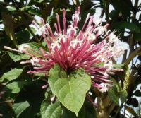 Clerodendrum shooting star
