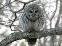 A Barred Owl at My Window
