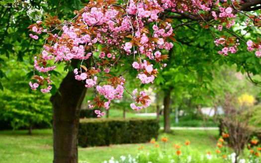Spring-Trees-Blooms