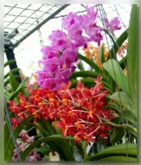 Perieraarra Tango Fire Orchid (orange)